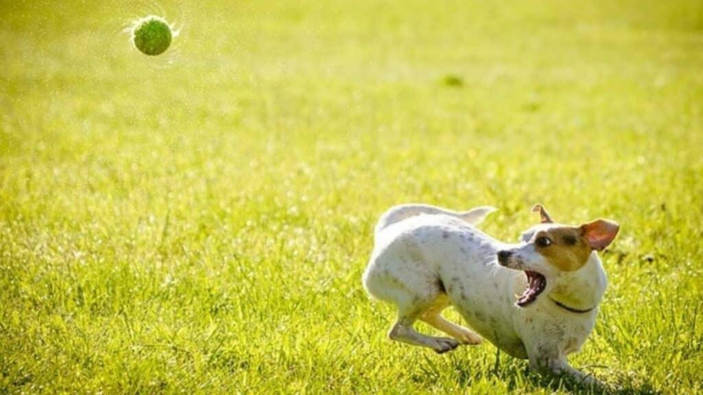 Race de chien énergique