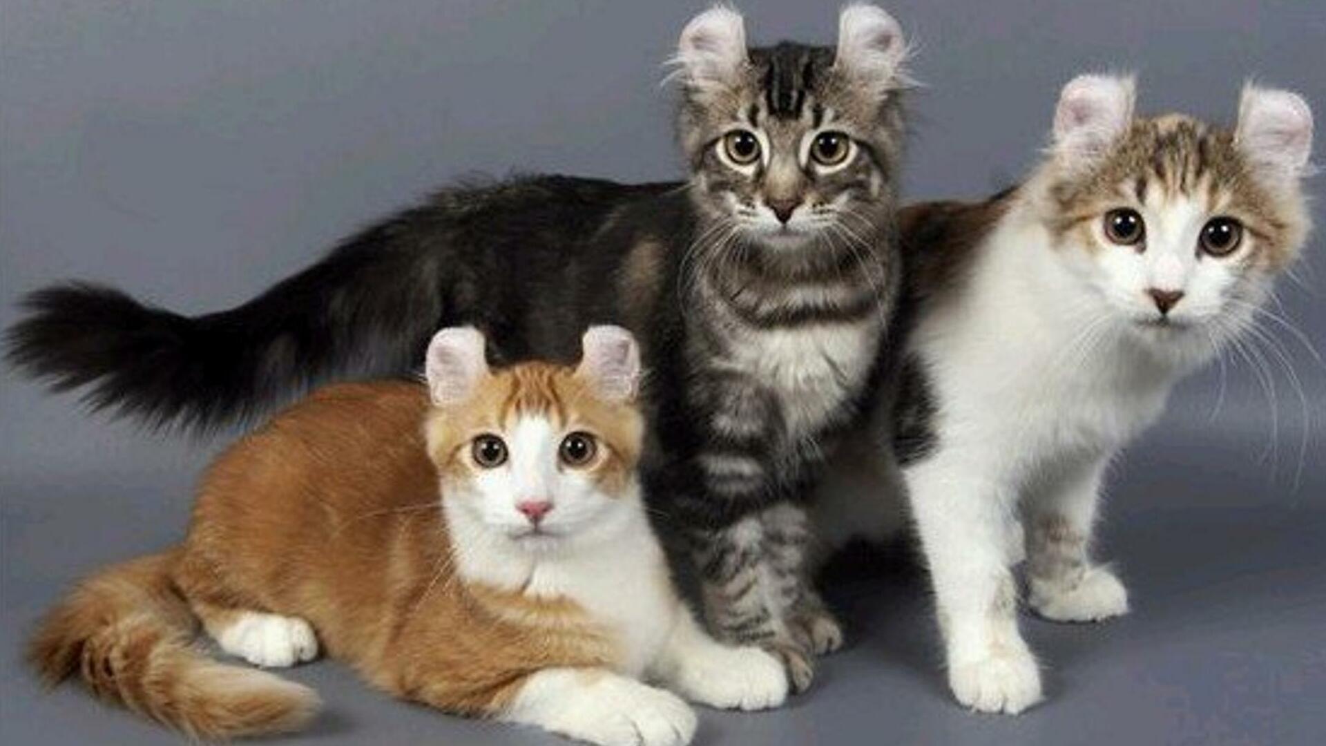 American Curl : Prix de ce chat, Comportement & Caractère