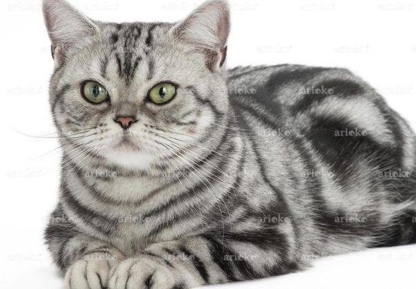 American Shorthair : Prix de ce chat, Comportement & Caractère, Santé