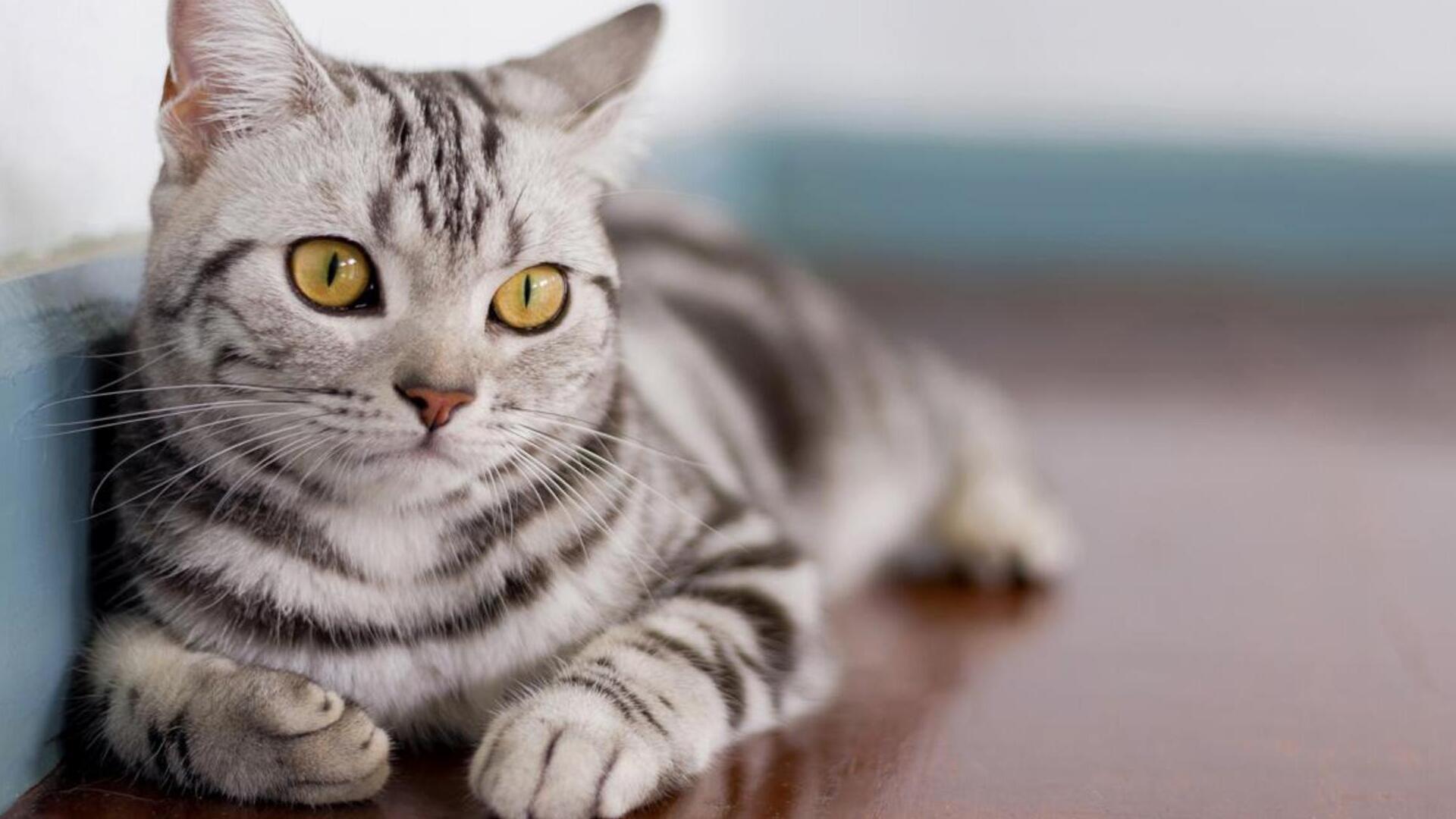 American Shorthair : Prix de ce chat, Comportement