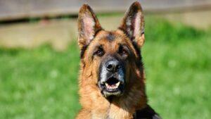 Le top 10 des chiens de berger
