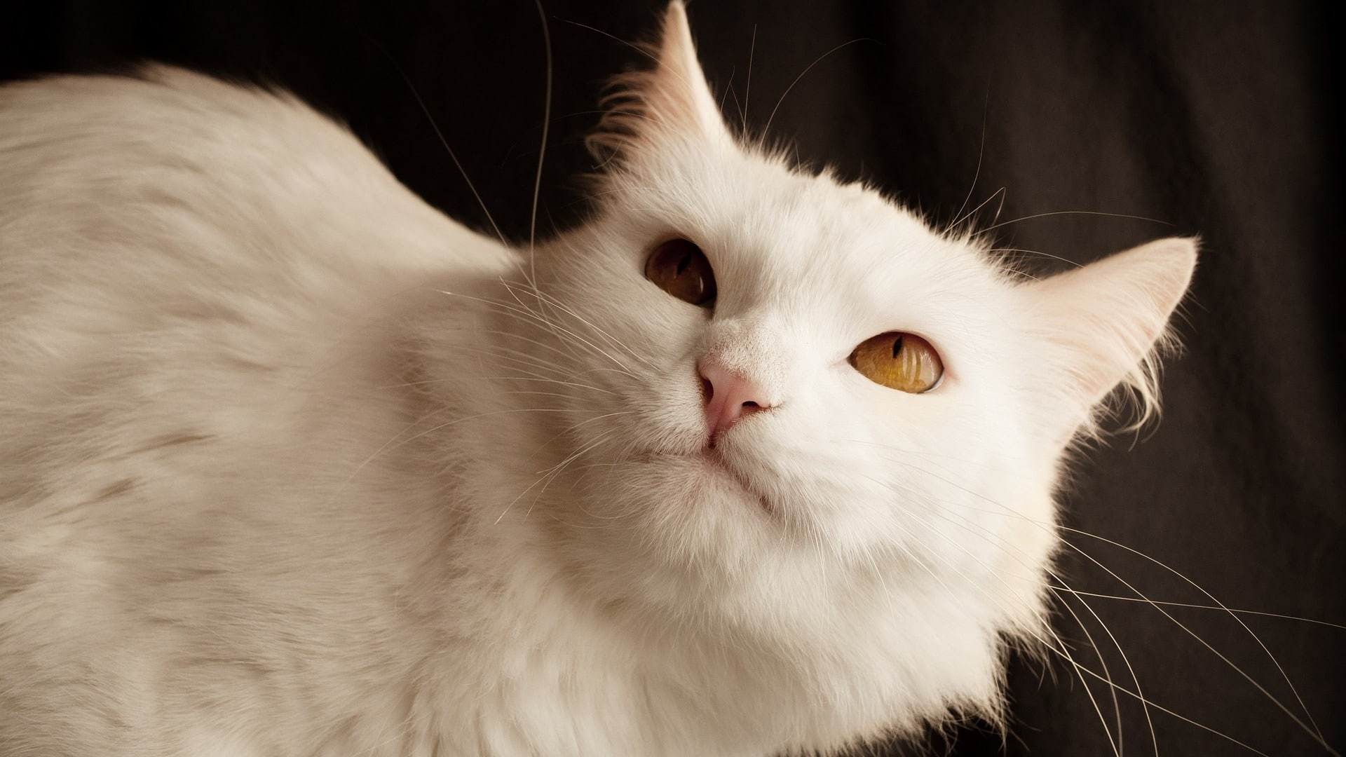 adopter un chat Angora Turc