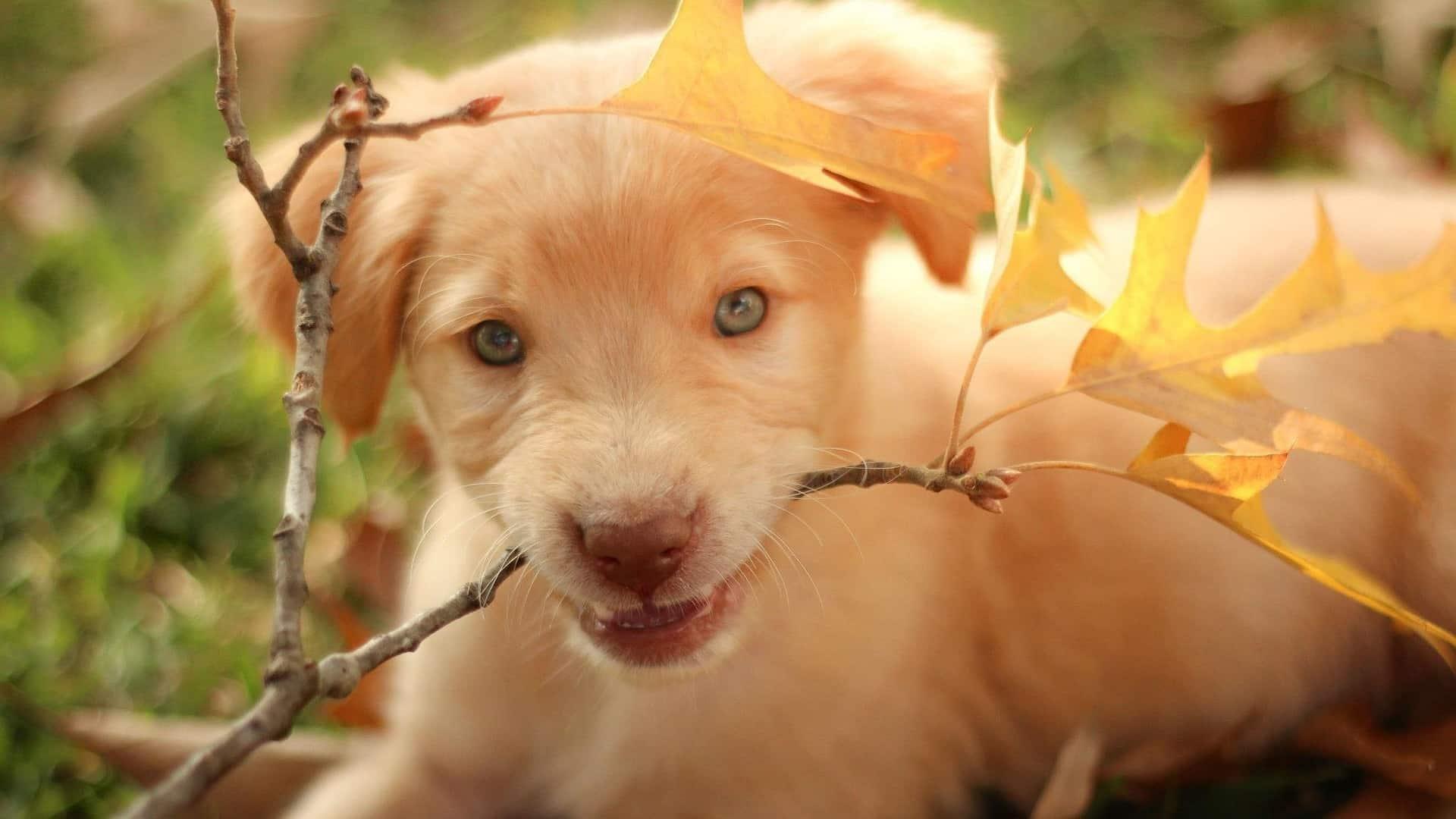 adopter un chien Labrador-Retriever