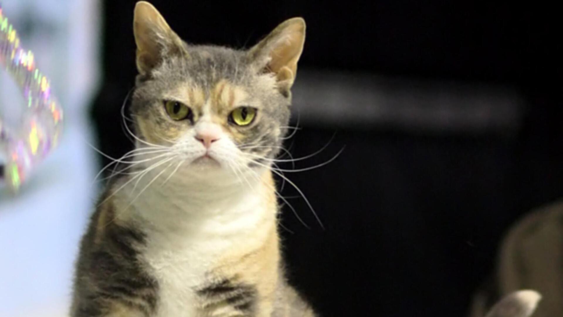 American Wirehair : Prix de ce chat, Comportement et Caractère, Santé