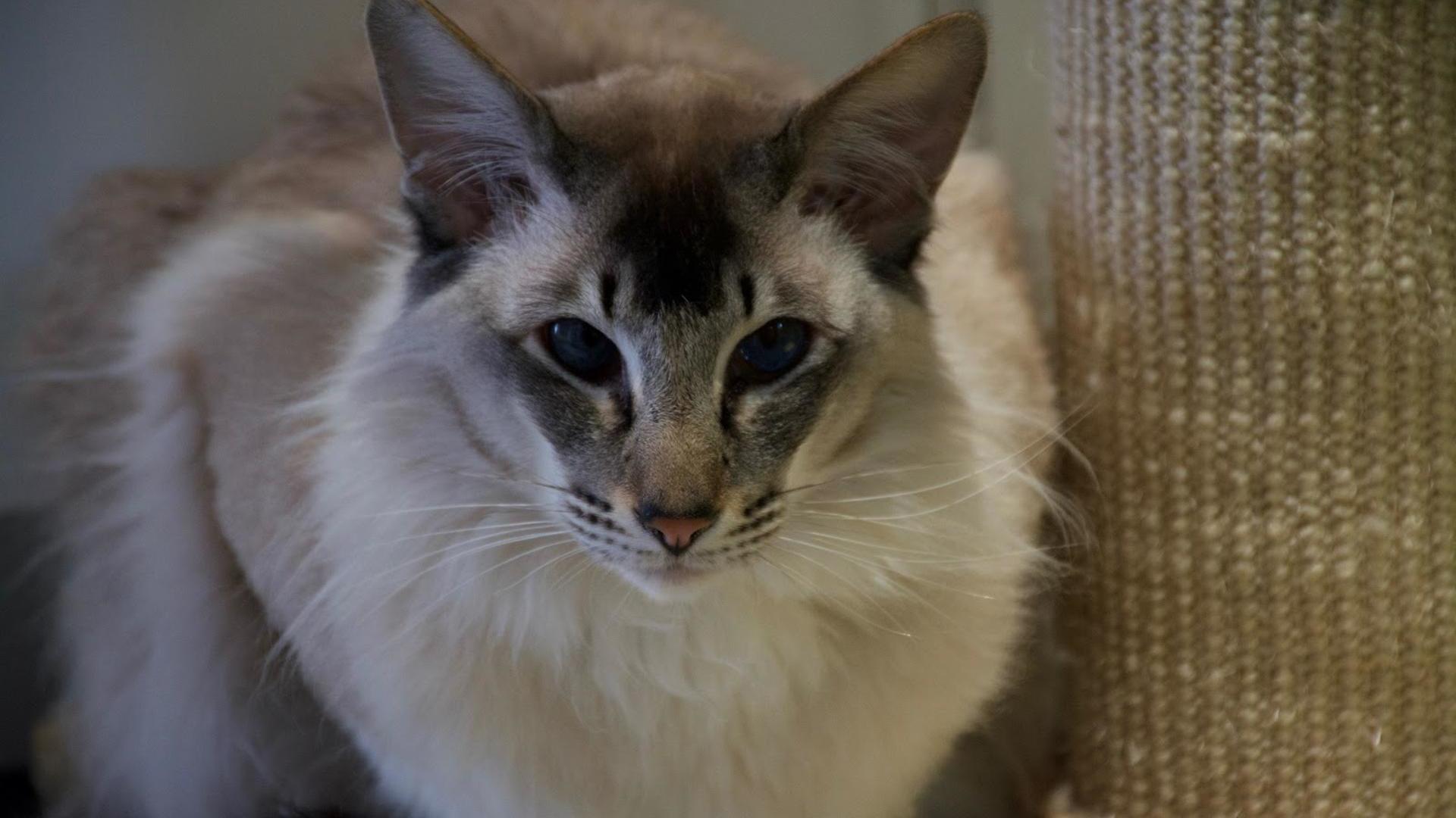 caractère chat Balinais