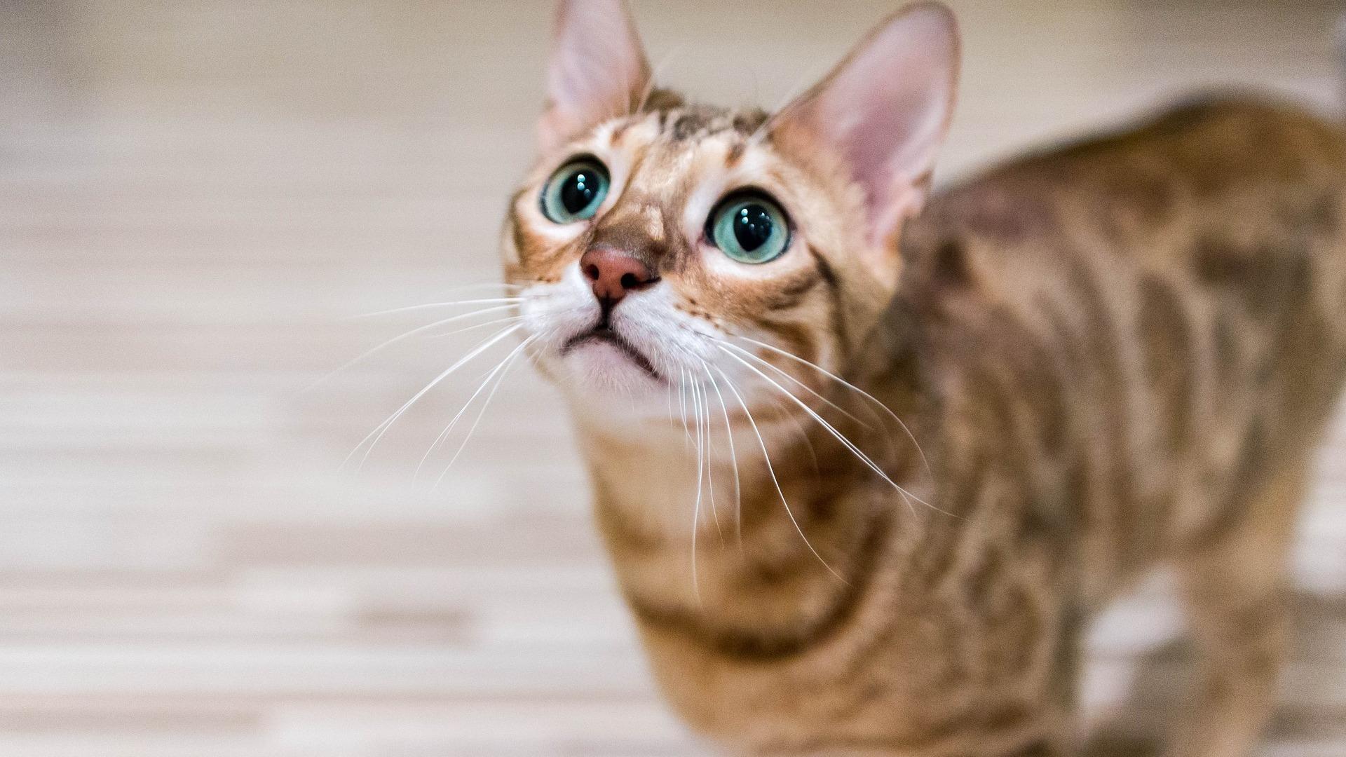 Bengal : Prix de ce chat, Comportement & Caractère, Santé