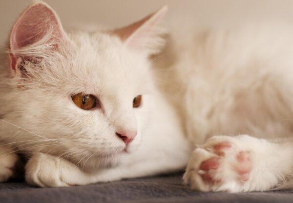 Angora Turc : Prix de ce chat, Comportement & Caractère, Santé