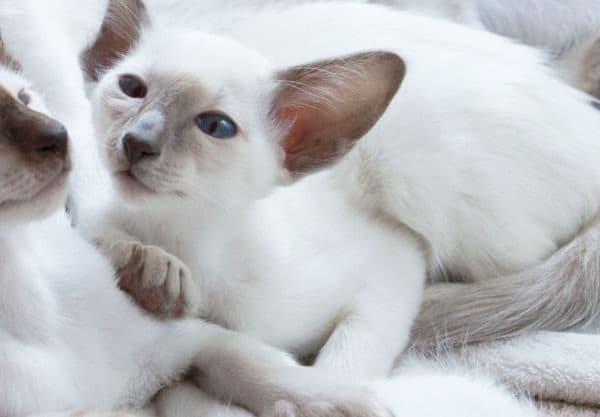Balinais : Prix de ce chat, Comportement & Caractère, Santé