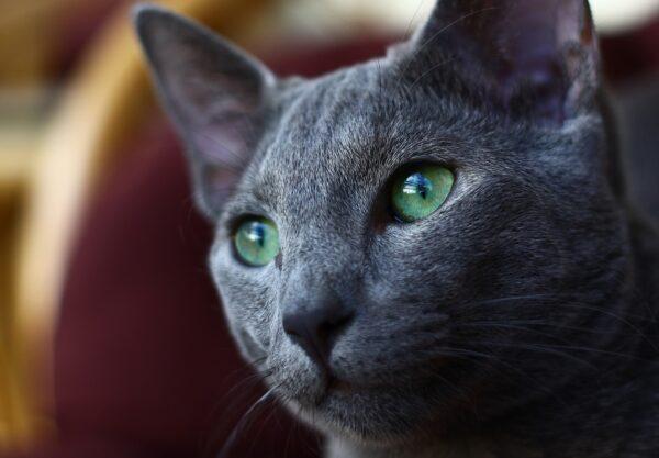 Bleu russe : Prix de ce chat, Comportement & Caractère, Santé