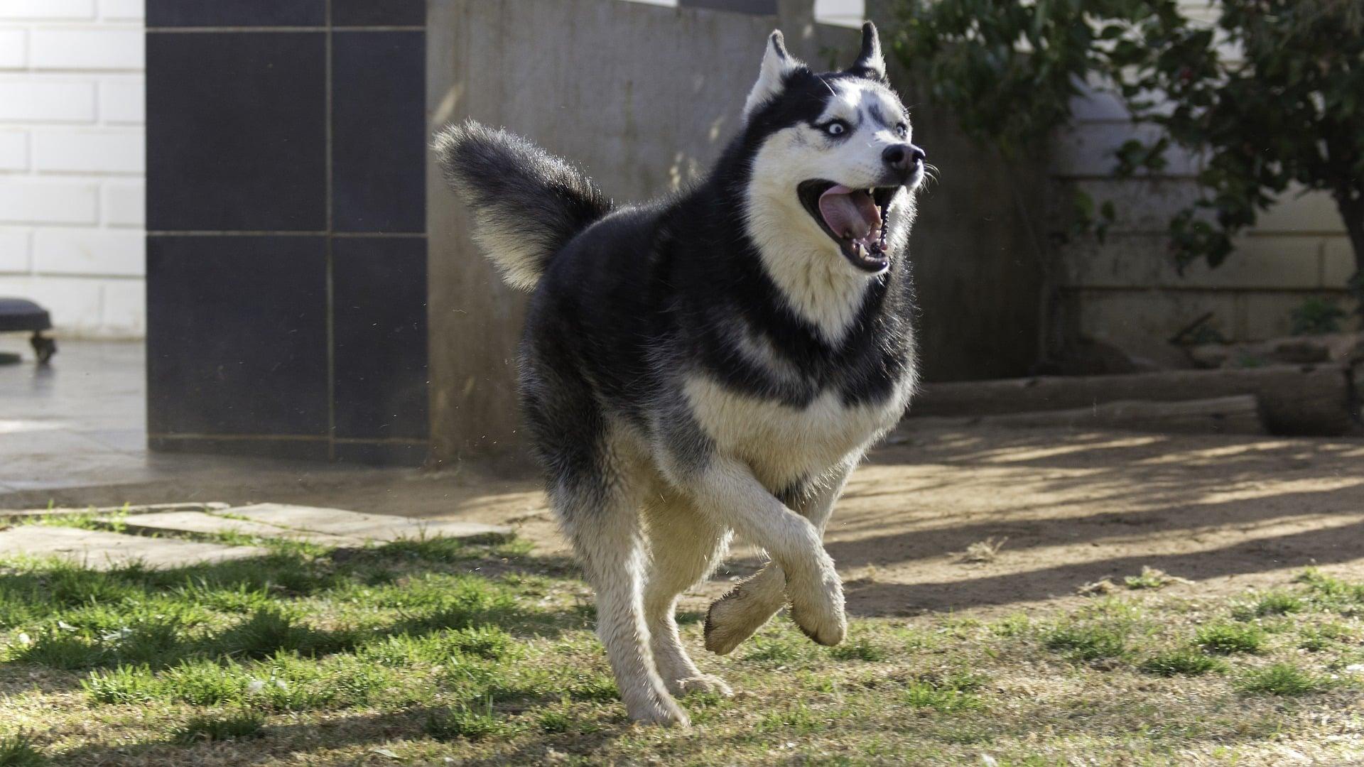 comportement chien Husky Sibérien