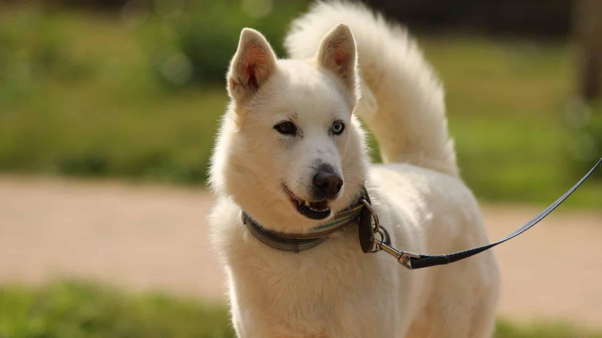 Husky Sibérien : Prix de ce chien, Caractère, Santé, Alimentation