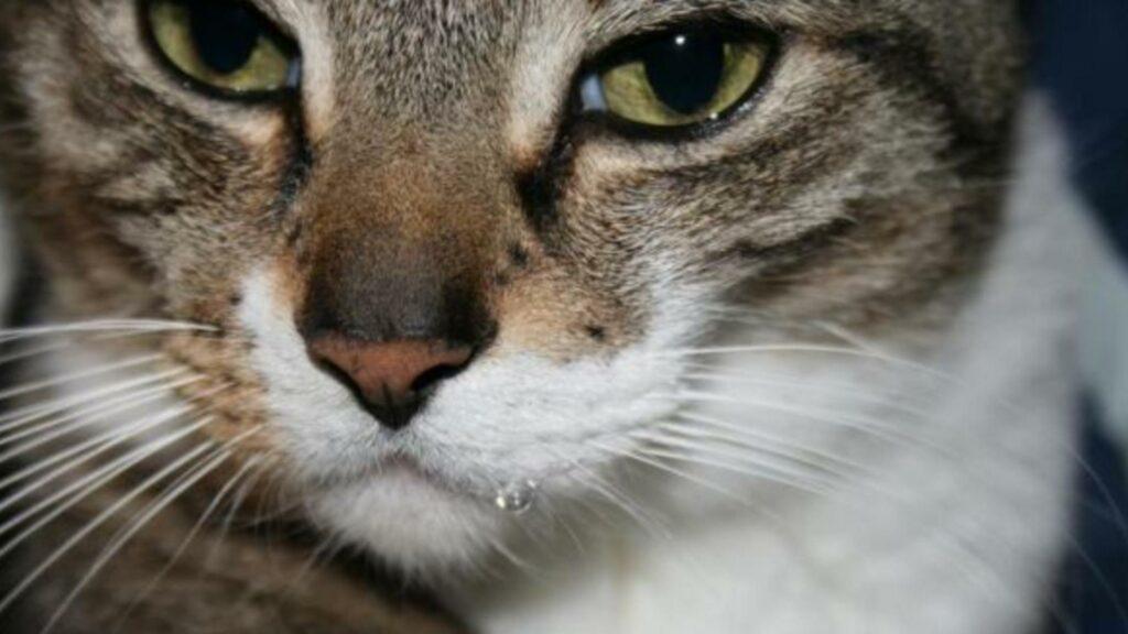 problème hypersalivation du chat