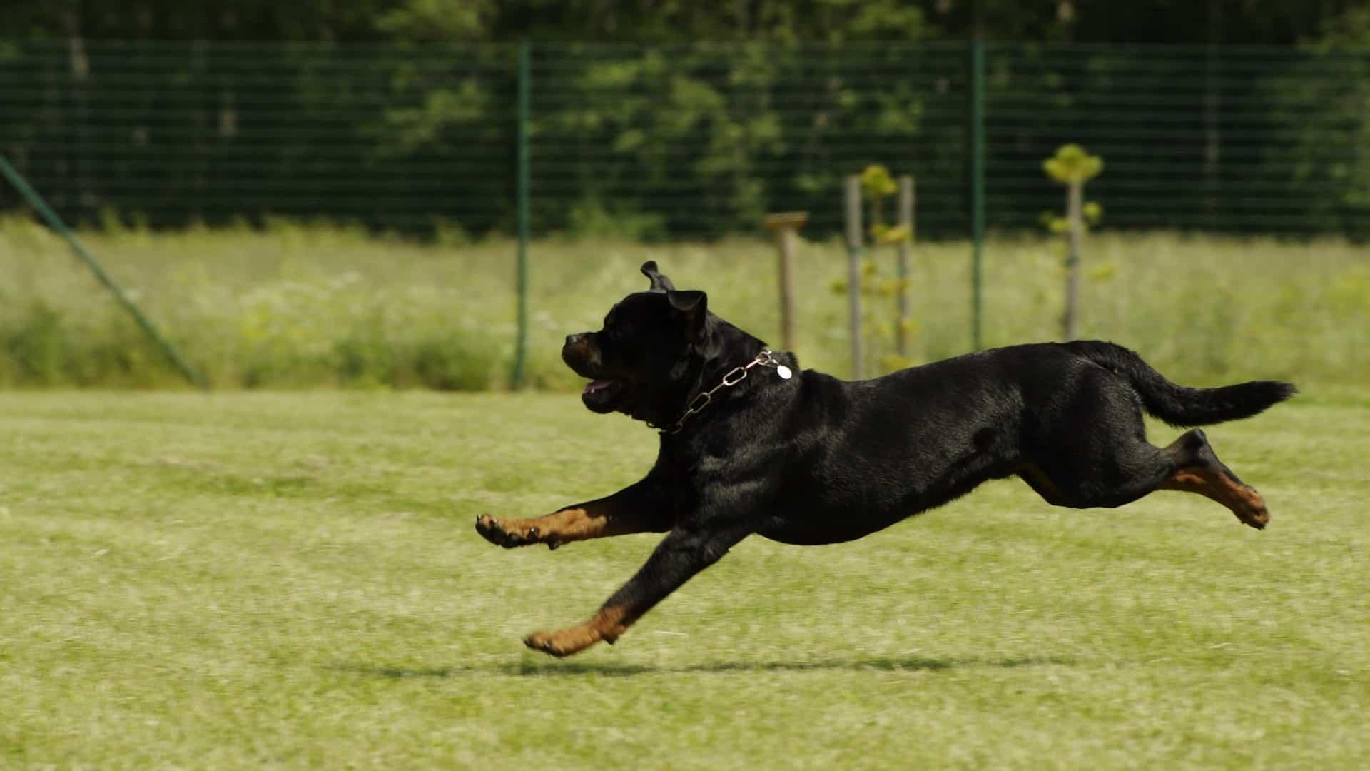 santé chien Rottweiler