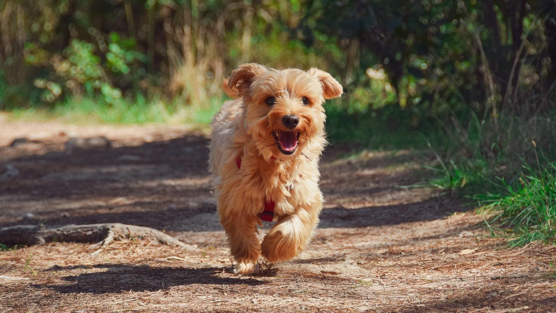 Yorkshire Terrier : Prix de ce chien, Caractère, Santé, Alimentation