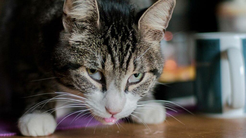 traitement hypersalivation du chat