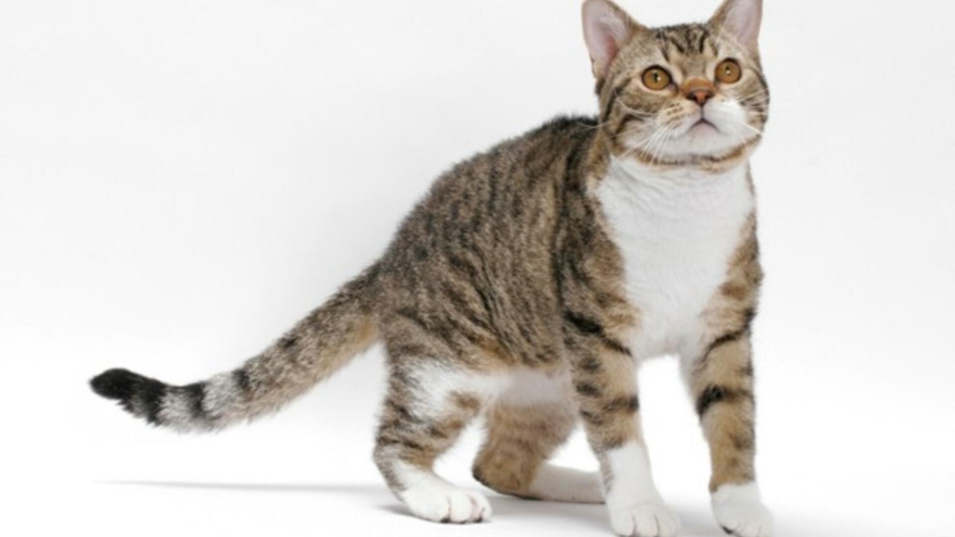 vivre avec un chat American Wirehair