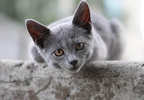 British Shorthair : Prix de ce chat, Comportement & Caractère, Santé