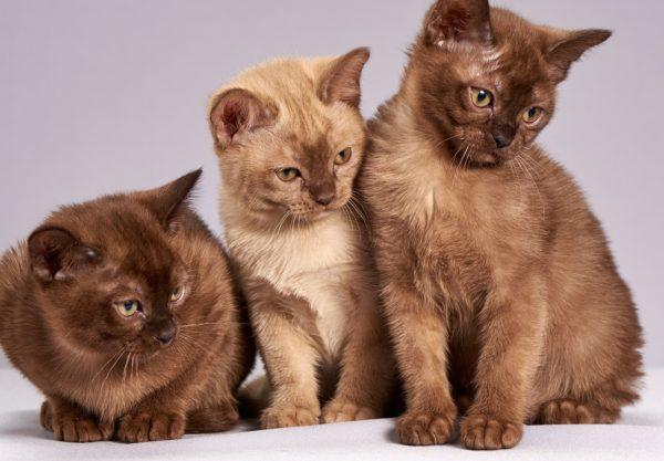 Burmese : Prix de ce chat, Comportement & Caractère, Santé
