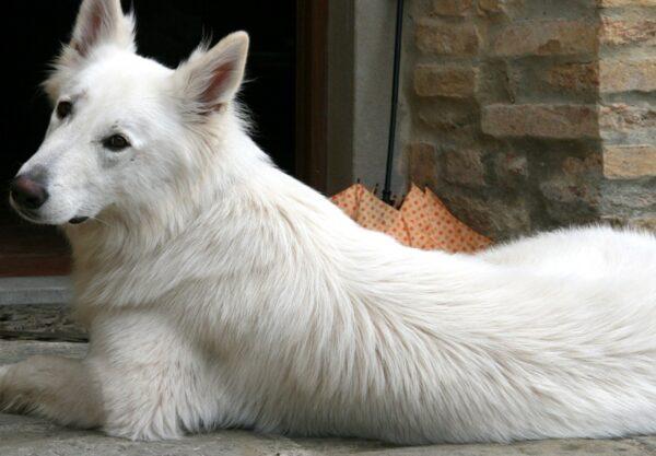 Berger Blanc Suisse : Prix de ce chien, Caractère, Santé, Alimentation