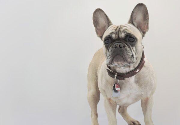 Bouledogue Français : Prix de ce chien, Caractère, Santé, Alimentation