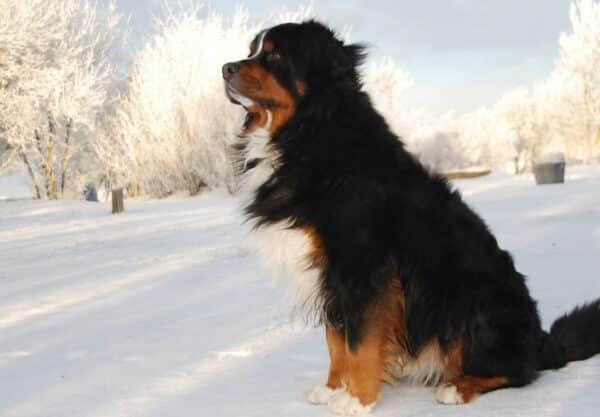 Bouvier Bernois : Prix de ce chien, Caractère, Santé, Alimentation