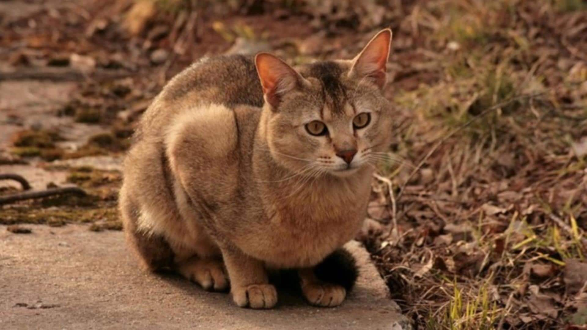 adopter chat Chausie
