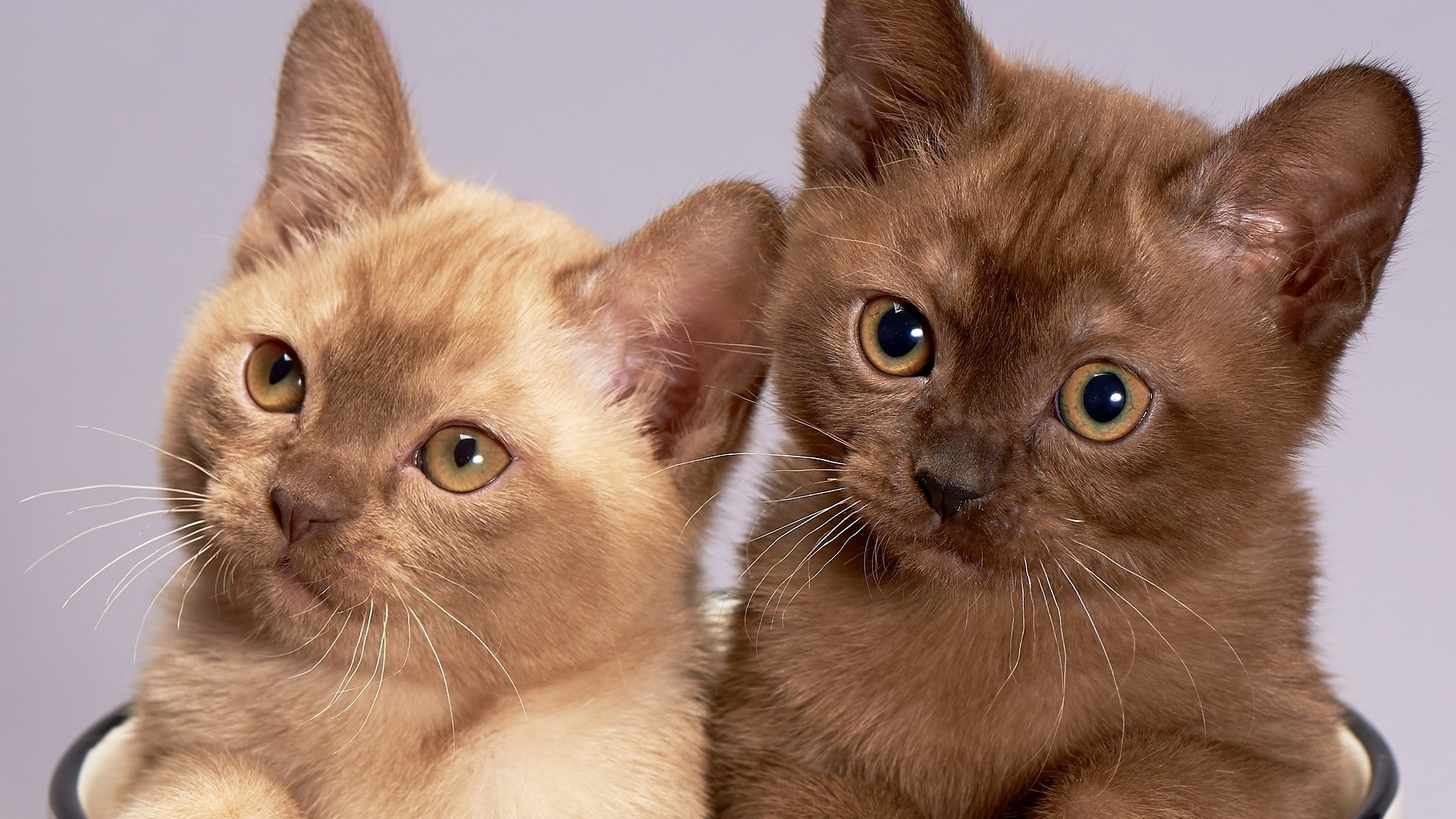 adopter chat burmese