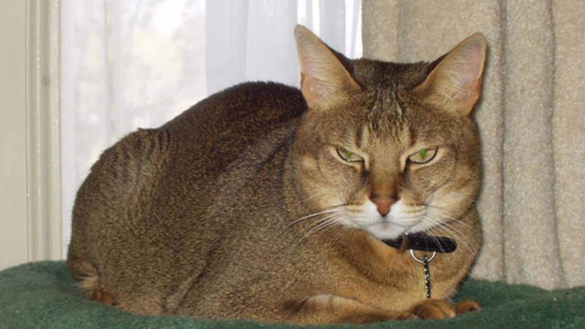 caractère chat Chausie