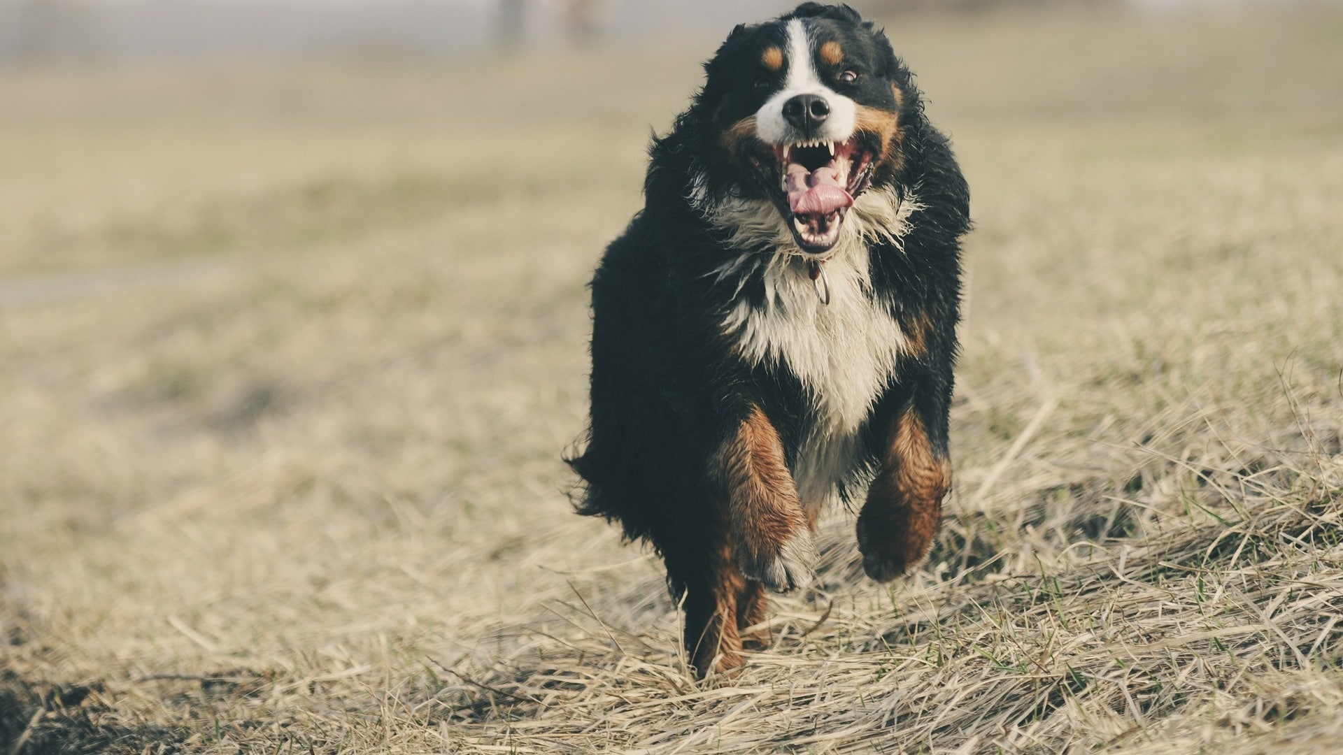 caractère chien Bouvier Bernois