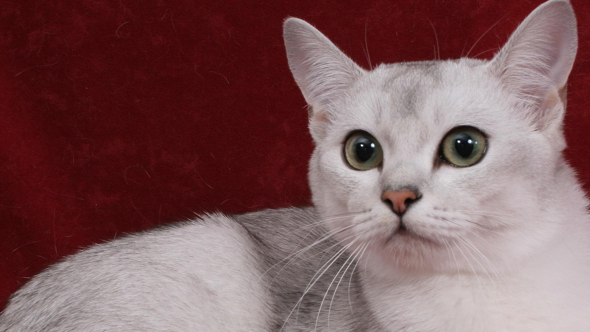 caractère chat Burmilla