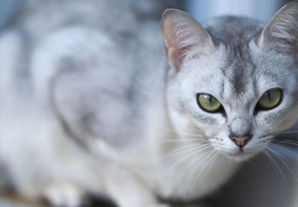 Burmilla : Prix de ce chat, Comportement & Caractère, Santé