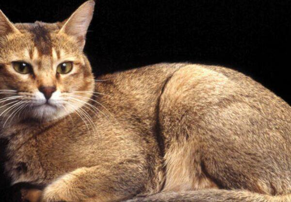 Ceylan : Prix de ce chat, Comportement & Caractère, Santé