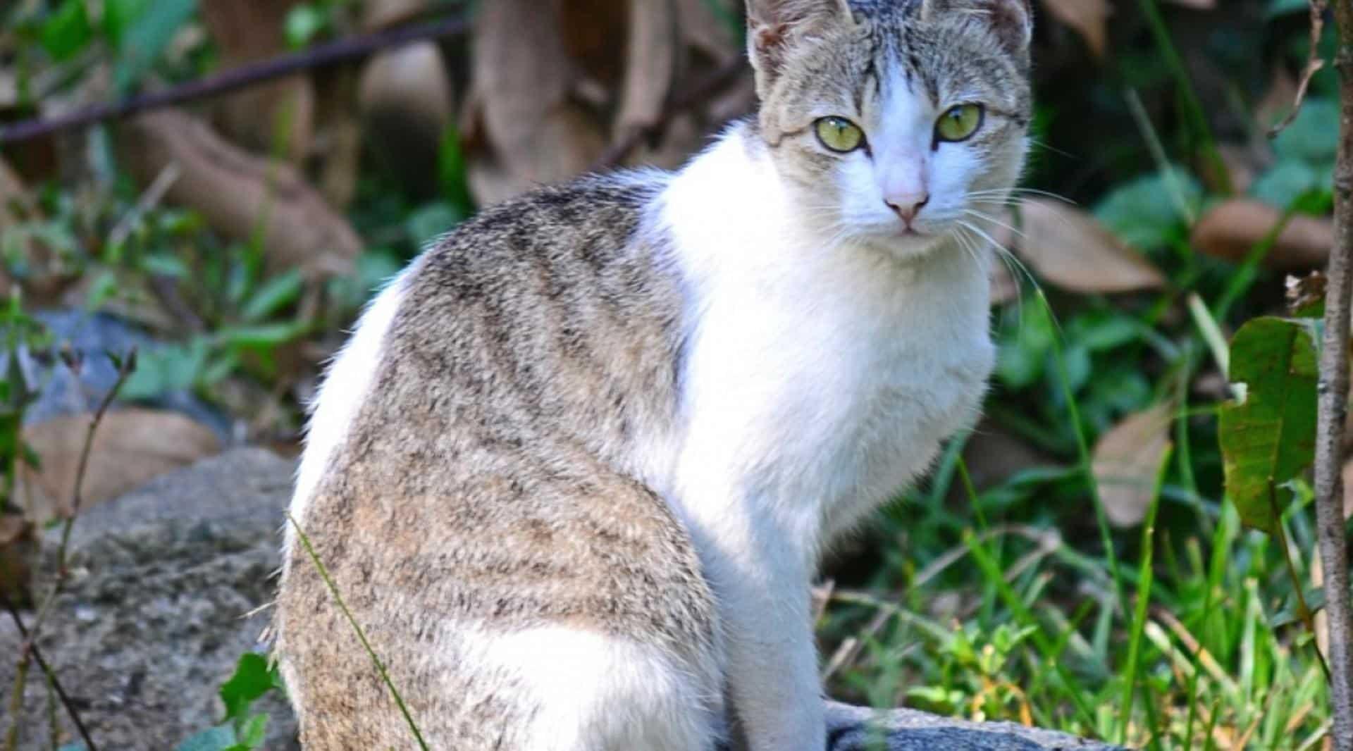 chat ceylan et fugue