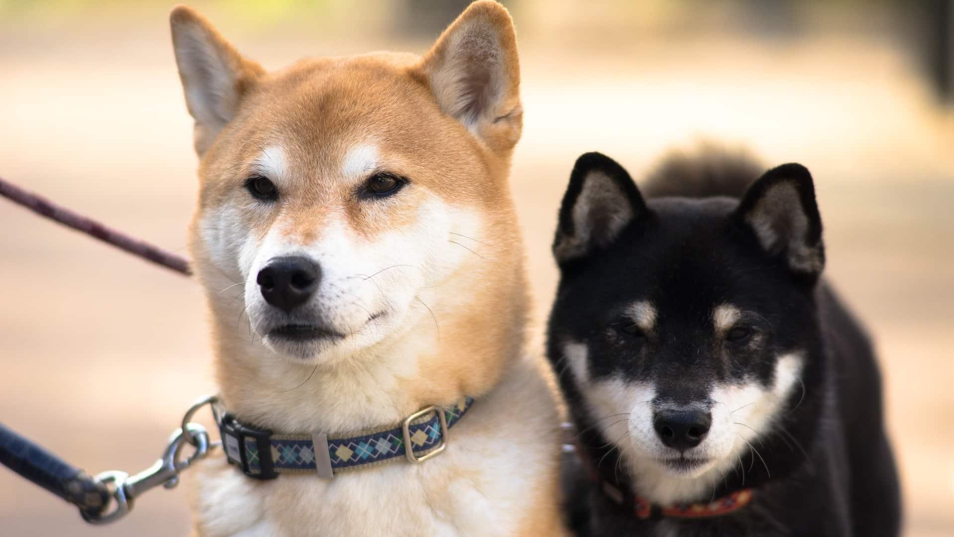 chien Shiba Inu