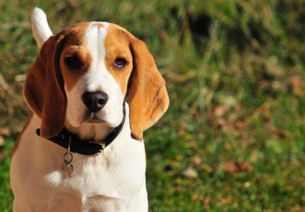 Beagle : Prix de ce chien, Caractère, Santé, Alimentation