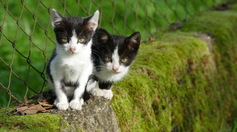 espérance de vie d'un chat