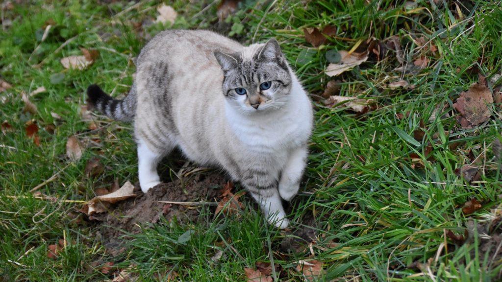 espérance de vie d'un chat de gouttière