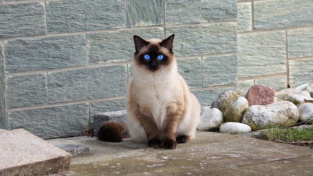 espérance de vie d'un chat de race