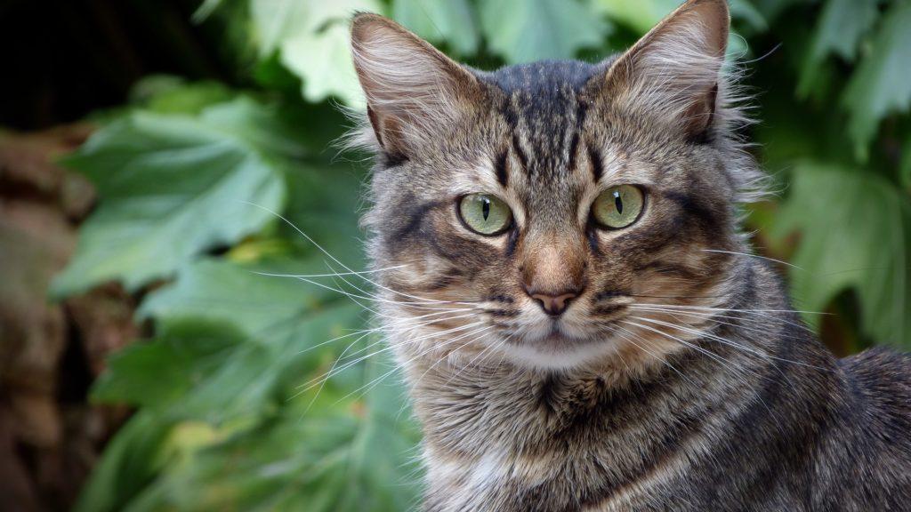 espérance de vie d'un chat sauvage
