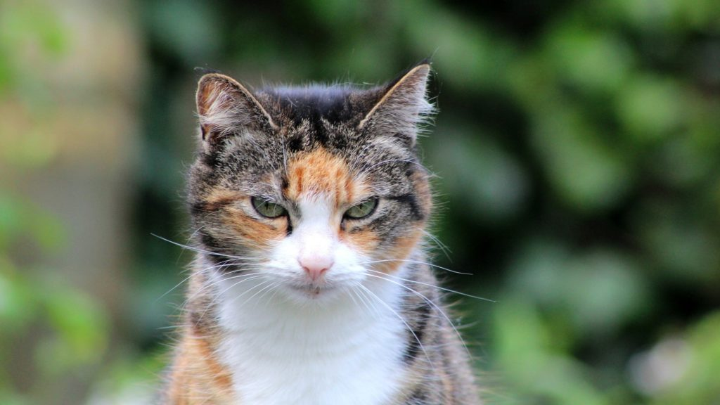 espérance de vie d'un chat trois couleurs