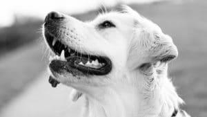 espérance de vie d'un chien