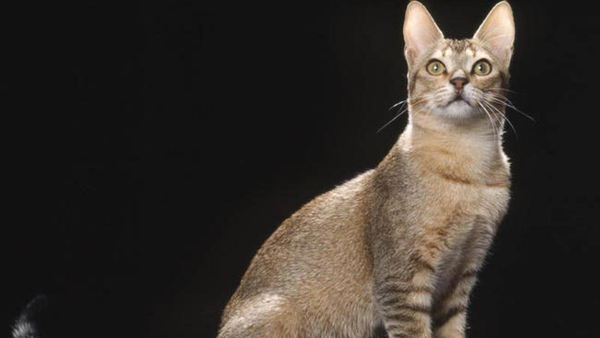 morphologie chat ceylan
