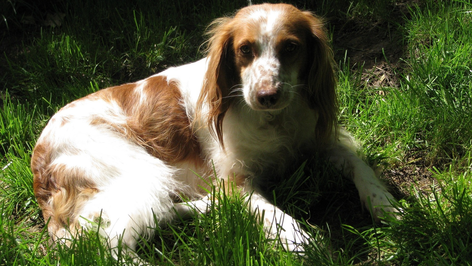 Epagneul Breton : Prix de ce chien, Caractère, Santé, Alimentation