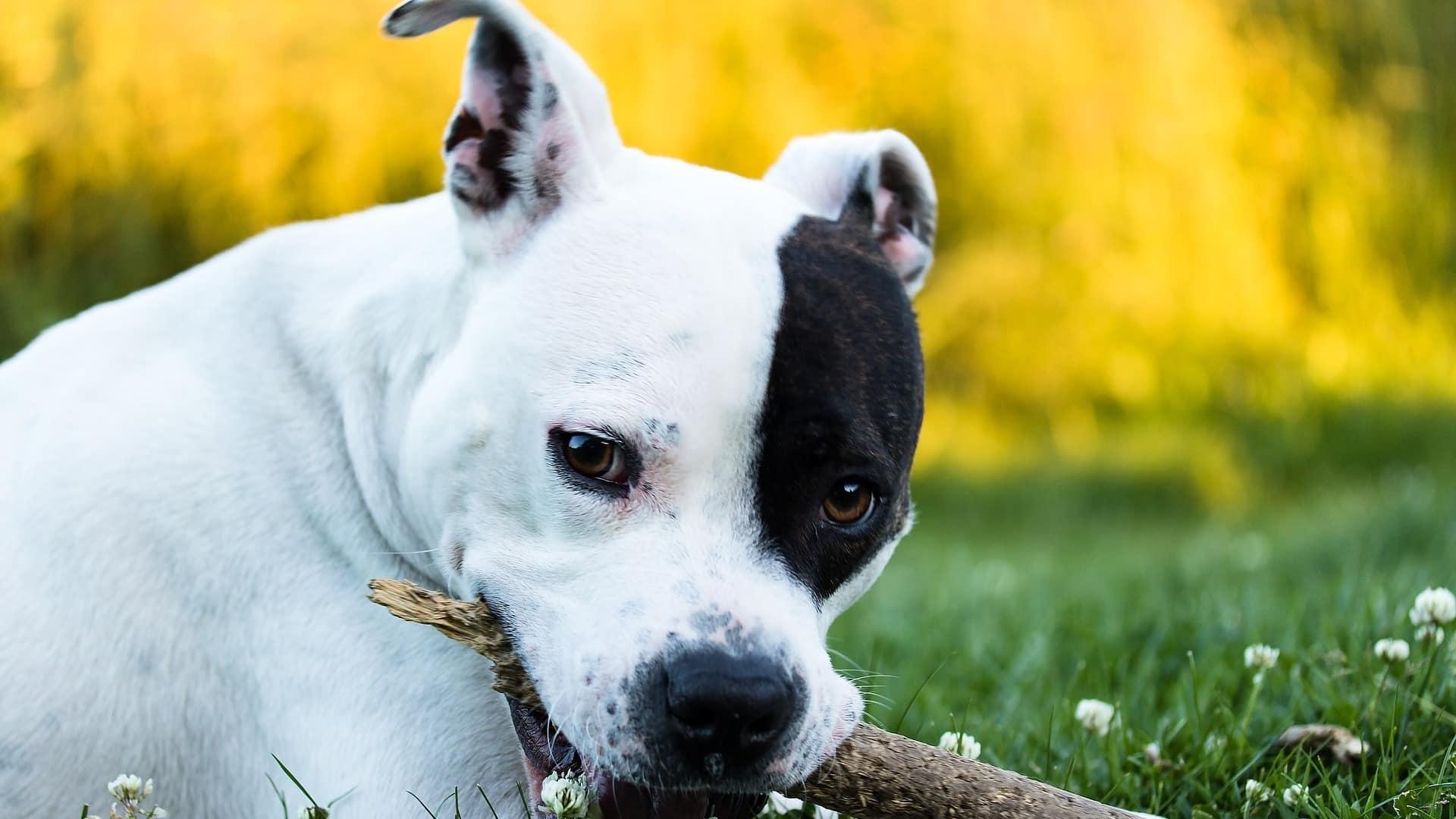 American Staffordshire Terrier : Prix de ce chien, Caractère, Santé, Alimentation