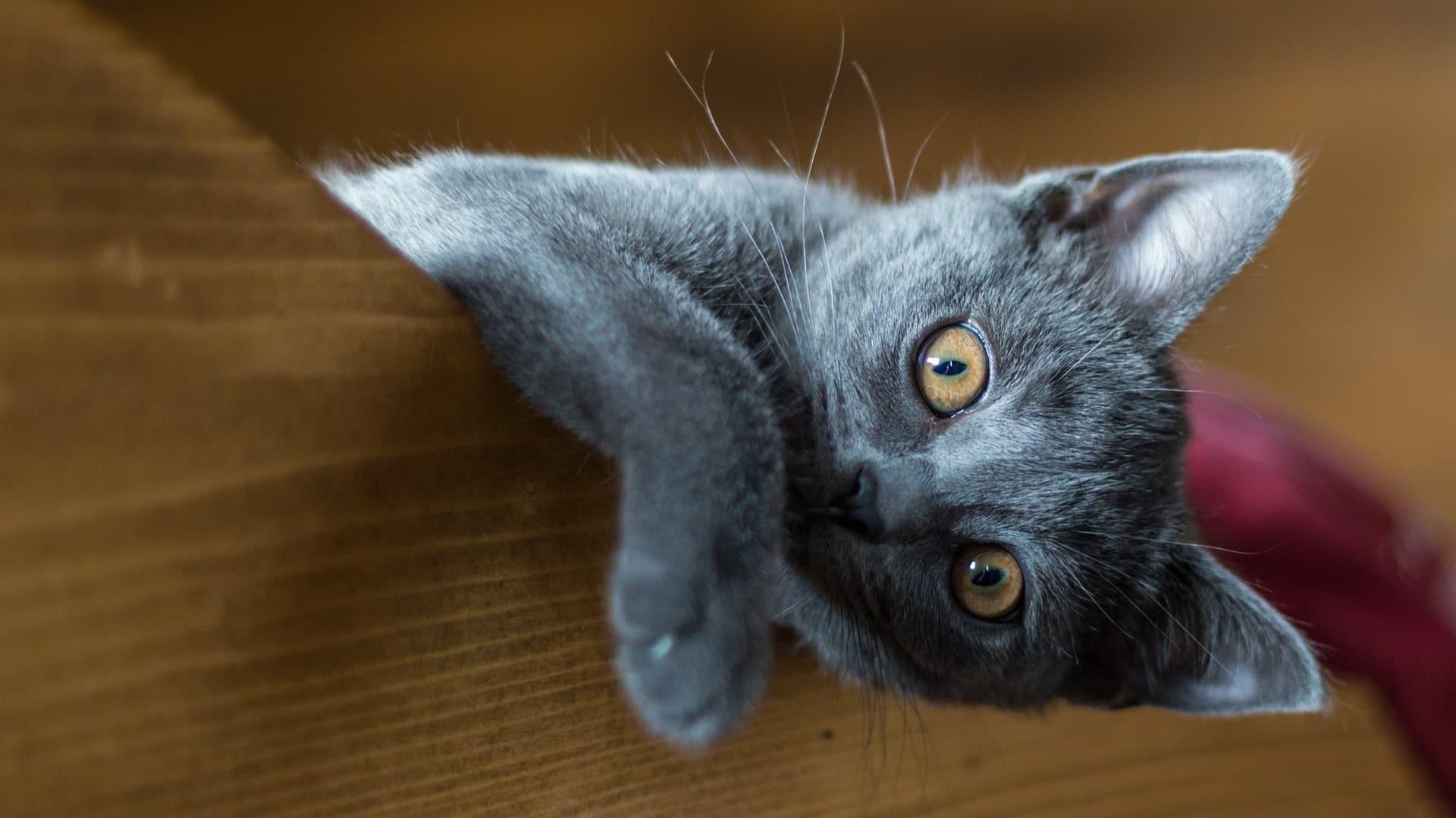 santé chat Chartreux