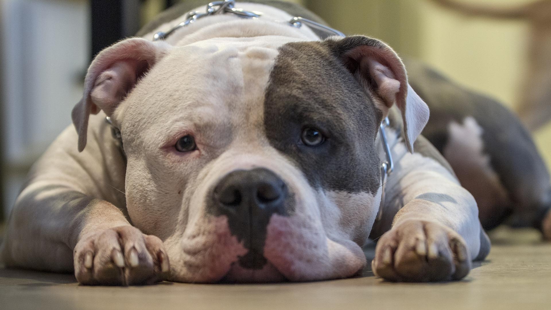 santé chien Pitbull
