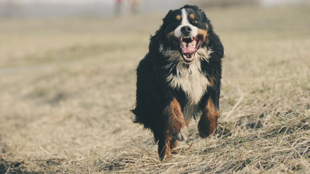 vaccin contre la rage pour chien