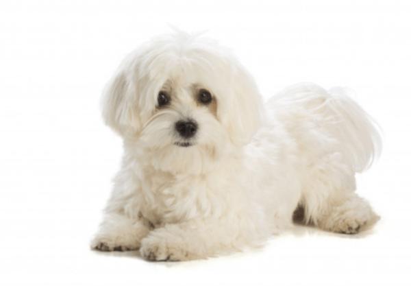 Bichon Maltais : Prix de ce chien, Caractère, Santé, Alimentation