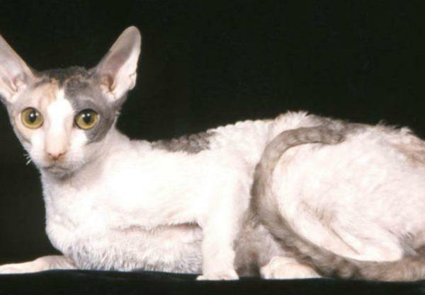 Cornish Rex : Prix de ce chat, Comportement & Caractère, Santé