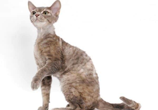 German Rex : Prix de ce chat, Comportement & Caractère, Santé
